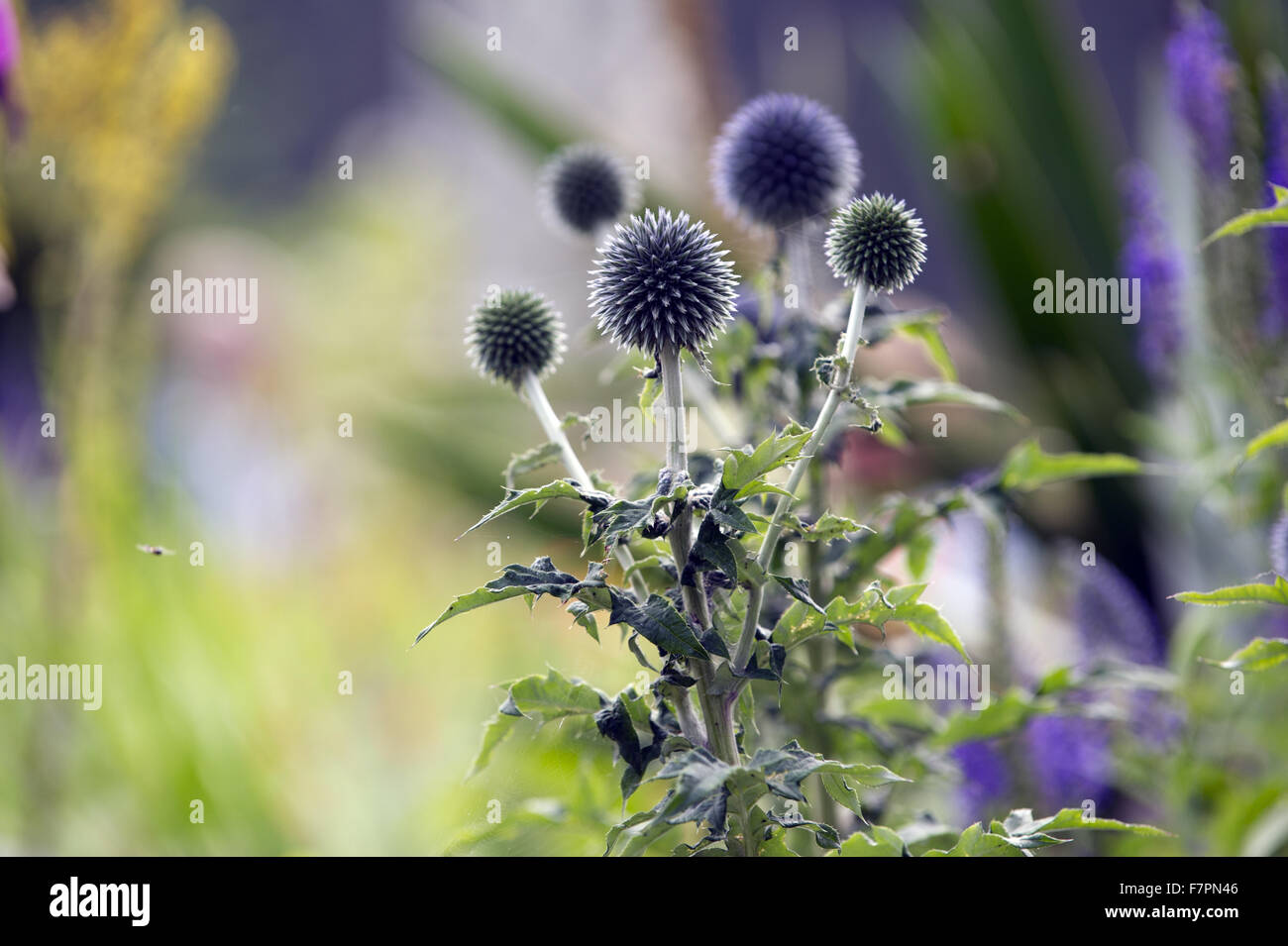 Globe thistles growing in July at Bodnant Garden, Clwyd, Wales. Created by five generations of one family, Bodnant Stock Photo