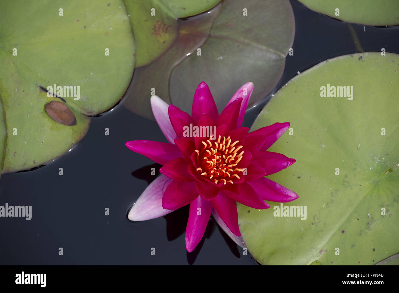 Water lilies growing in July at Bodnant Garden, Clwyd, Wales. Created by five generations of one family, Bodnant Stock Photo