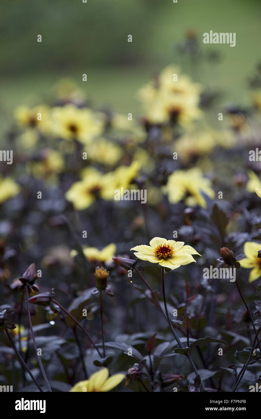Yellow dahlias blooming in the garden at Morden Hall Park, London, in July. Stock Photo