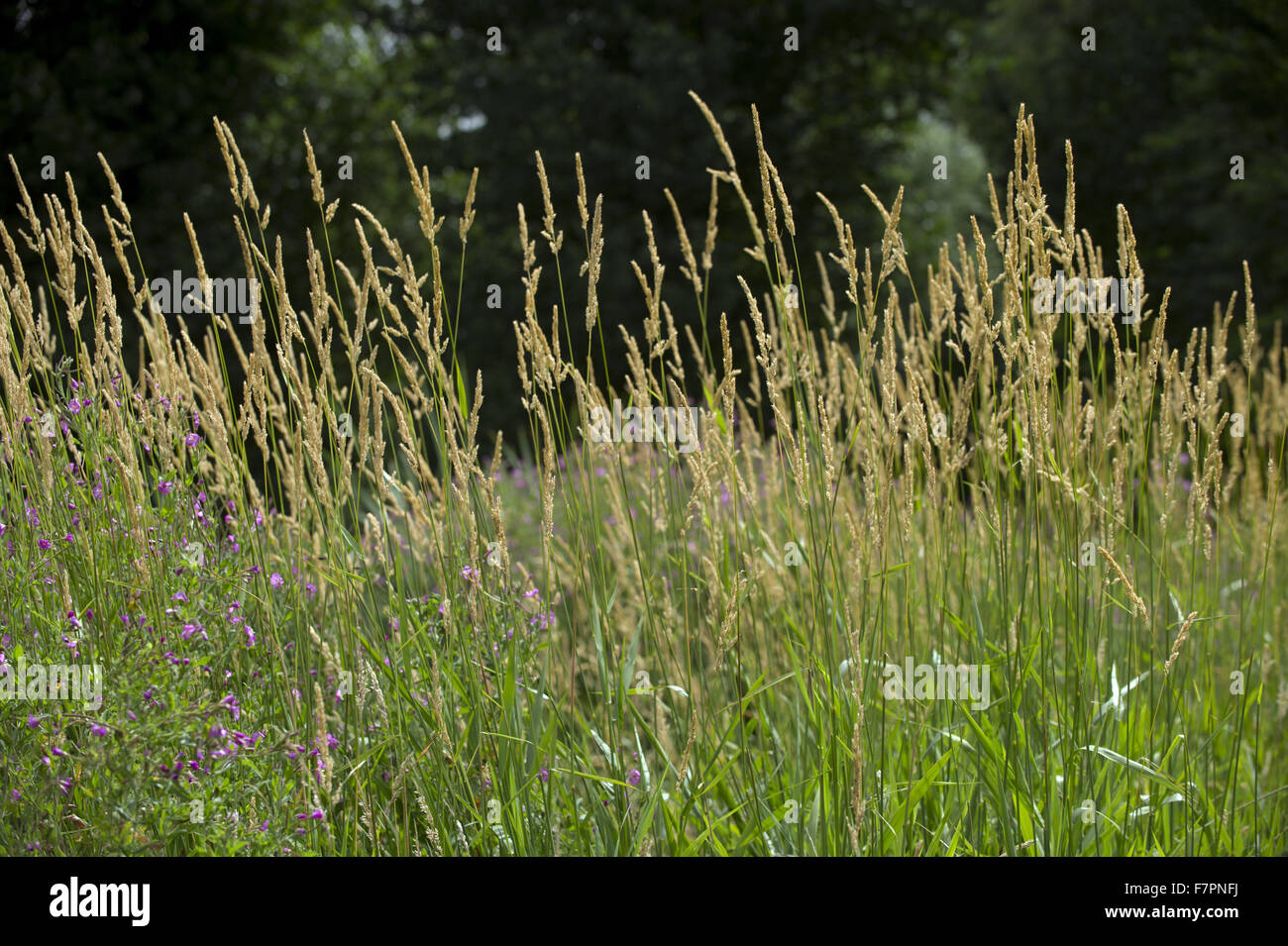Grasses growing in the grounds of Morden Hall Park, London. Stock Photo