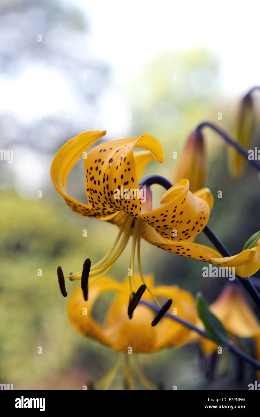 Flower growing in July at Bodnant Garden, Clwyd, Wales. Created by five generations of one family, Bodnant sits Stock Photo