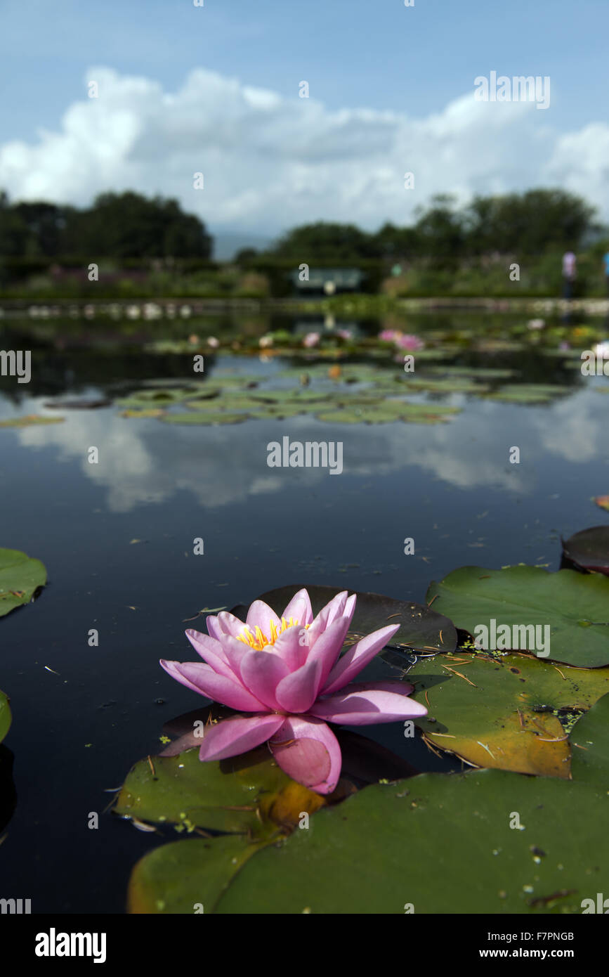 Water lily growing in July at Bodnant Garden,  Clwyd, Wales. Created by five generations of one family, Bodnant Stock Photo