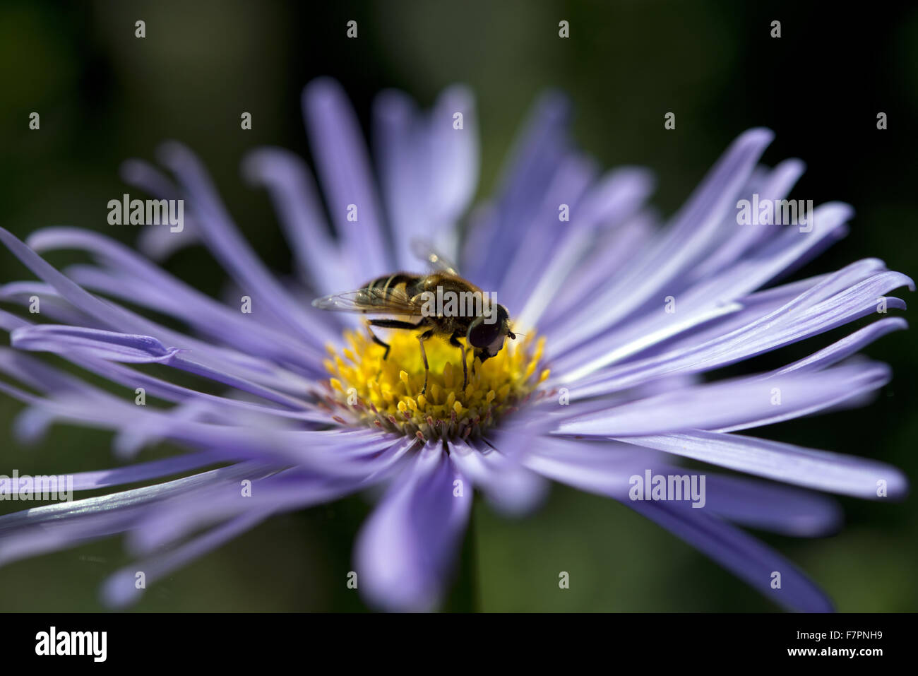 A wasp on a daisy growing in July at Bodnant Garden, Clwyd, Wales. Created by five generations of one family, Bodnant Stock Photo