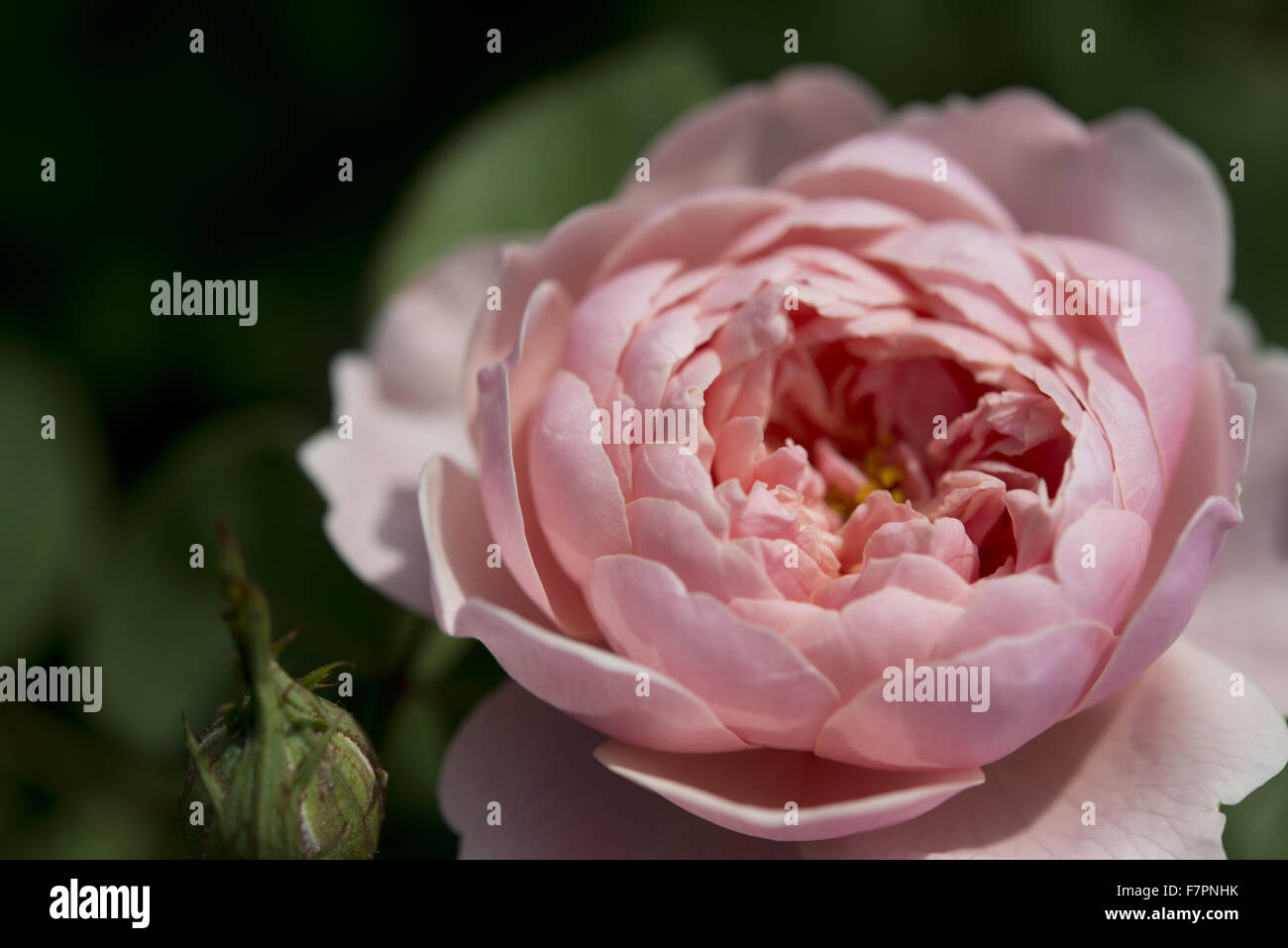 Pink rose growing in July at Bodnant Garden, Clwyd, Wales. Created by five generations of one family, Bodnant sits Stock Photo