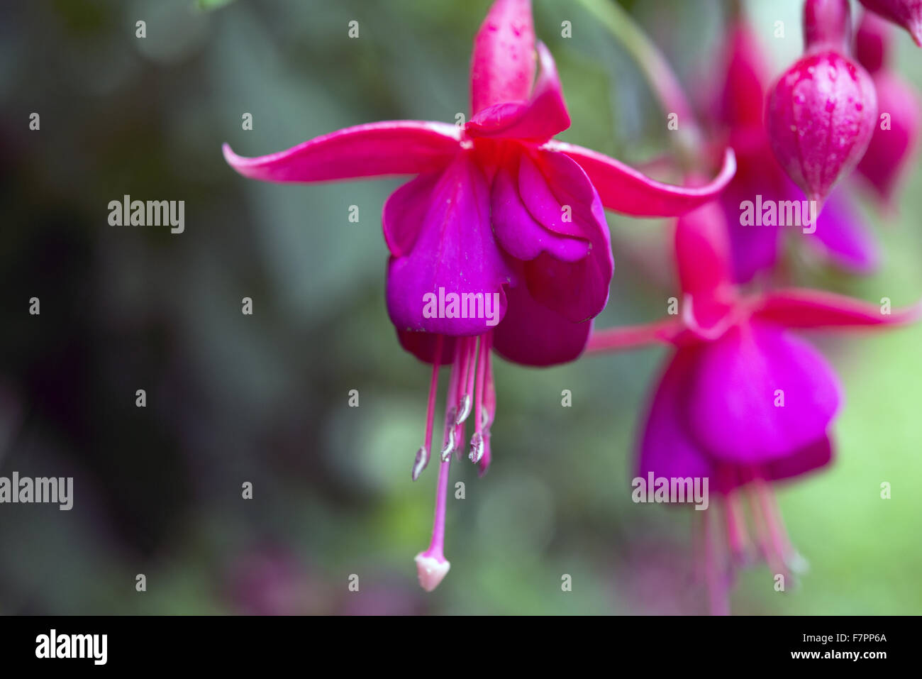 Fuschia flowering in the garden at Morden Hall Park, London, in July. Stock Photo