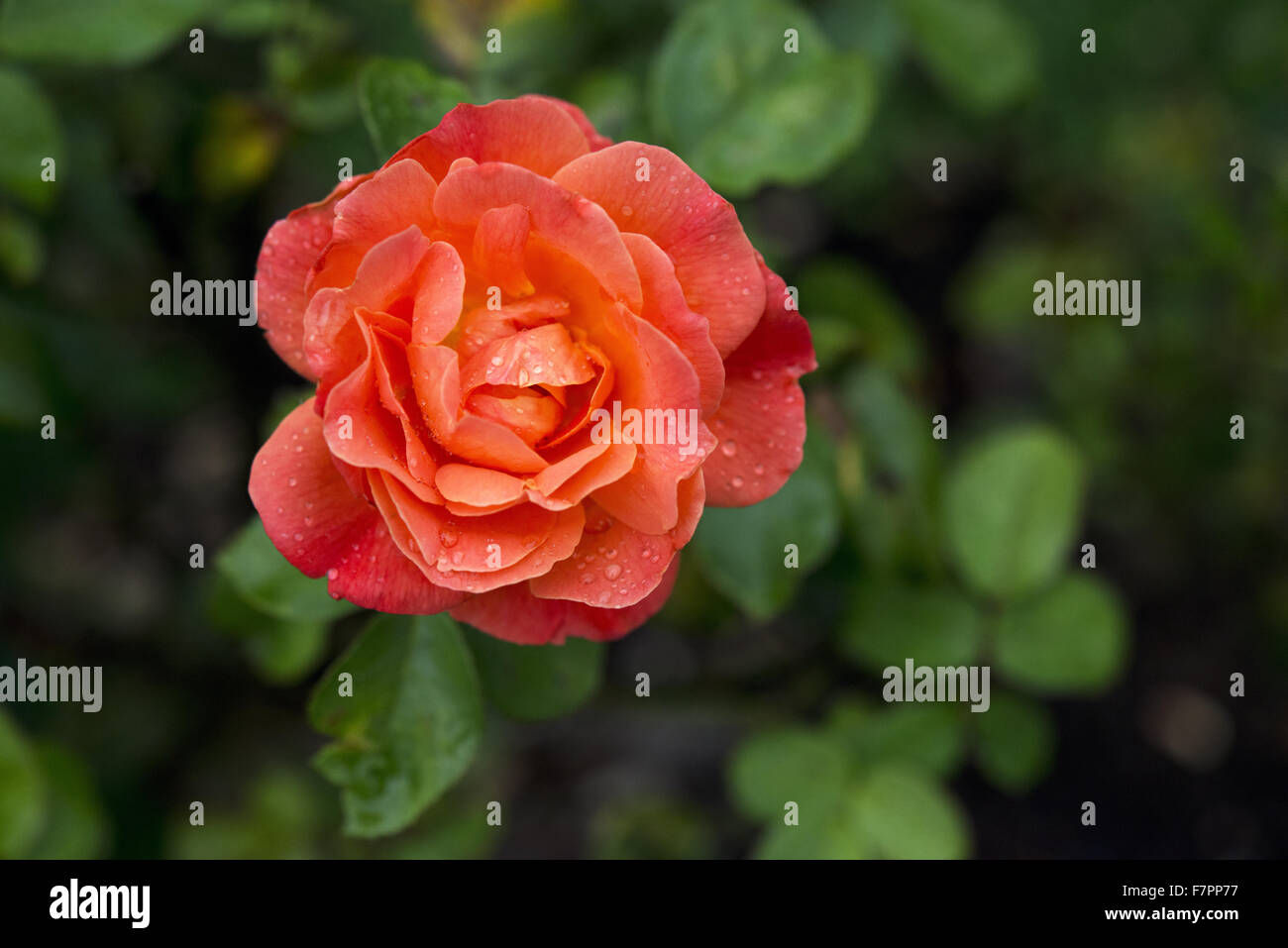 Coral-coloured rose flowering in the garden at Morden Hall Park, London, in July. Stock Photo