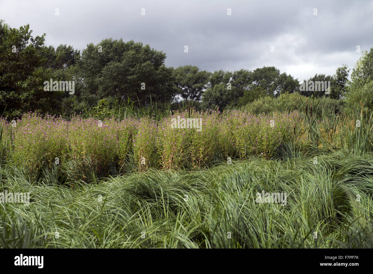 Vegetation growing near a pond in Morden Hall Park, London. Stock Photo