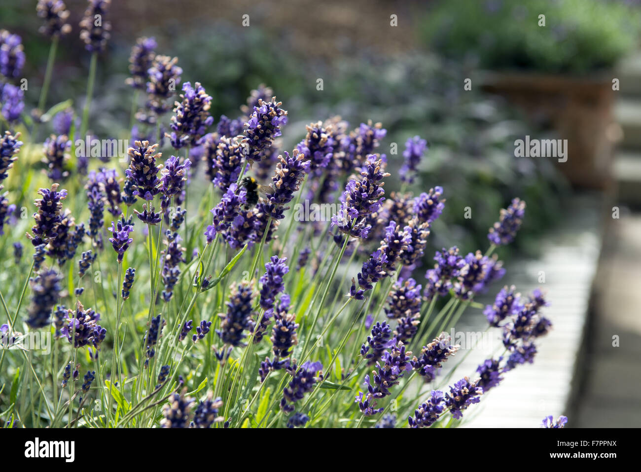 Lavender growing in the garden at Plas Newydd Country House and Gardens, Anglesey, Wales. This fine 18th century Stock Photo