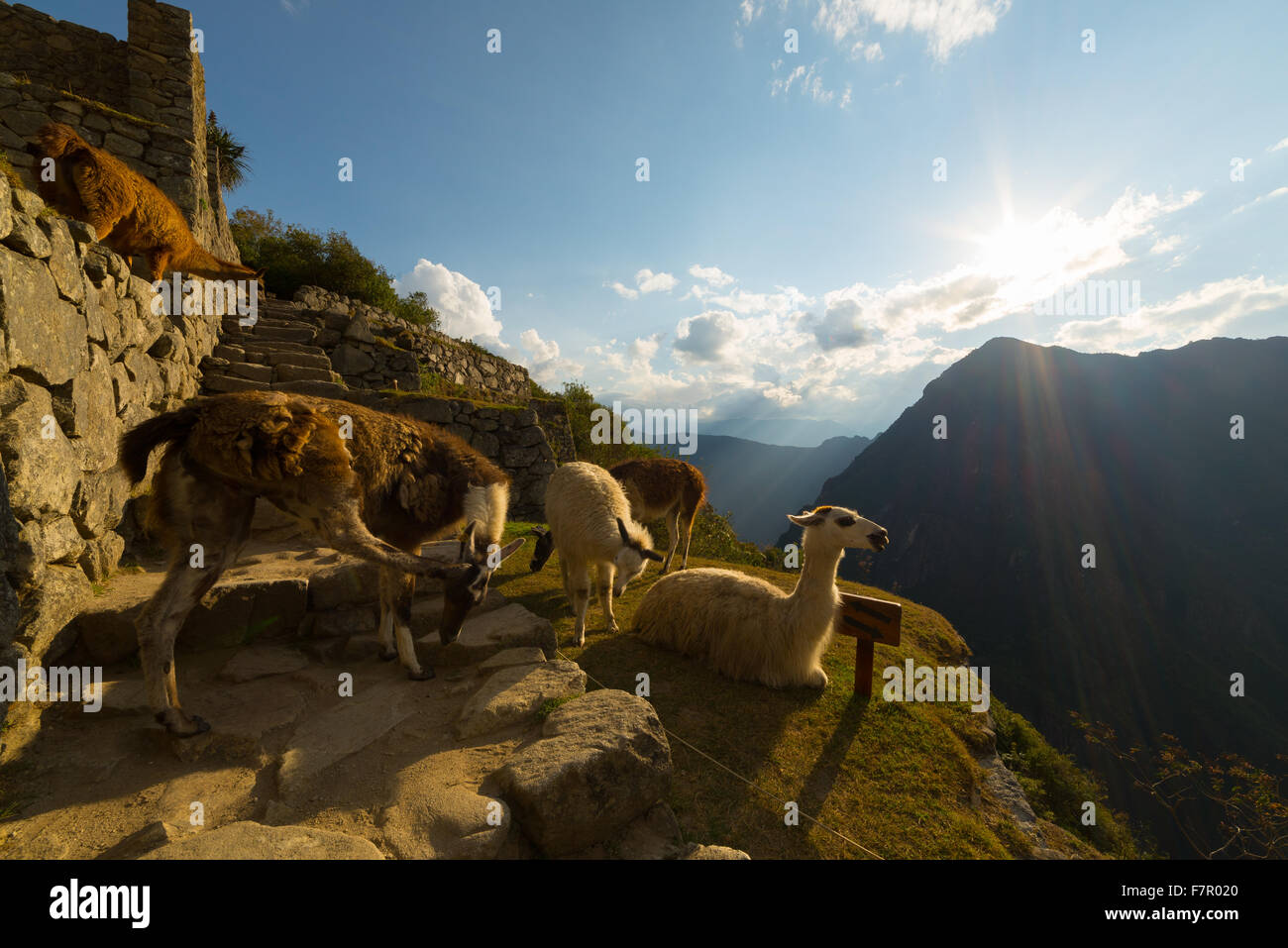 Group of llamas glowing in backlight on Machu Picchu terraces, Peru. Wide angle view in afternoon sunlight and blue - Stock Image