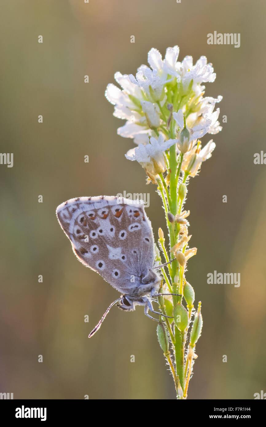 Butterfly Chalkhill Blue, Polyommatus coridon male on white inflorescence - Stock Image