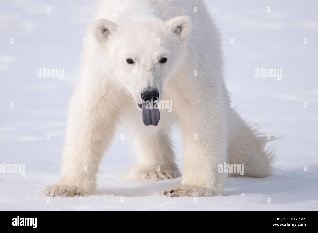 A Young Polar Bear (Ursus Maritimus) sticks out it's tongue to taste the air in Sallyhamna, Spitsbergen, Svalbard - Stock Image