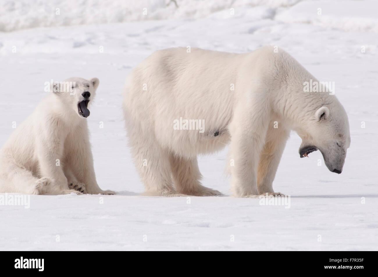 Wild Polar Bears (Ursus Maritimus), a Mother and Cub Yawning after eating at Sallyhamna, Svalbard - Stock Image