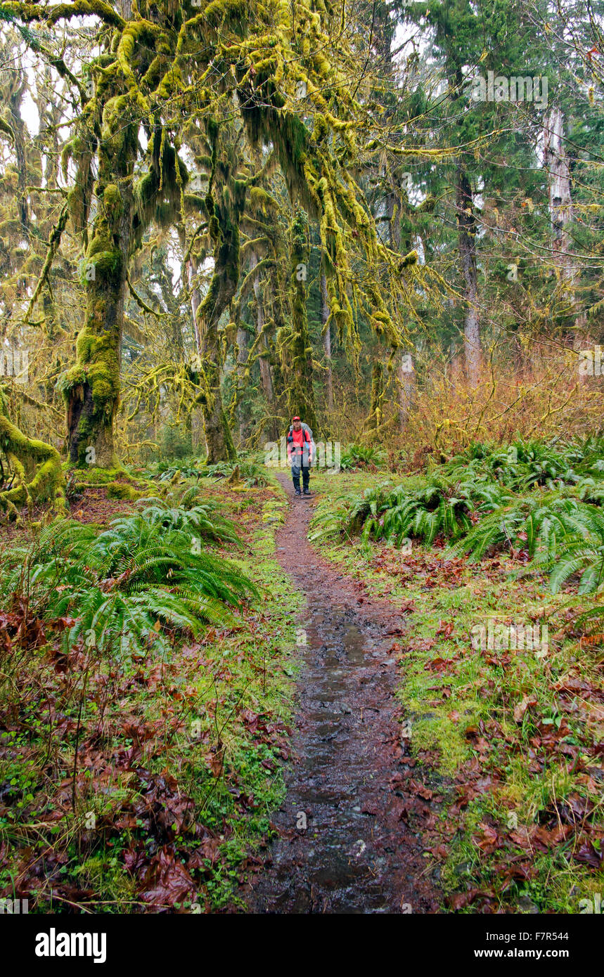 WASHINGTON - Hiker heading through the temperate rain forest along a very wet Hoh River Trail in Olympic National - Stock Image