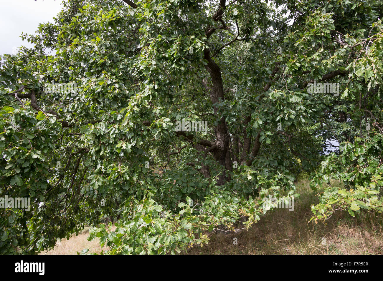 Sessile oak, Cornish oak, Irish oak, Trauben-Eiche, Traubeneiche, Eiche, Quercus petraea, Quercus sessilis, Quercus - Stock Image