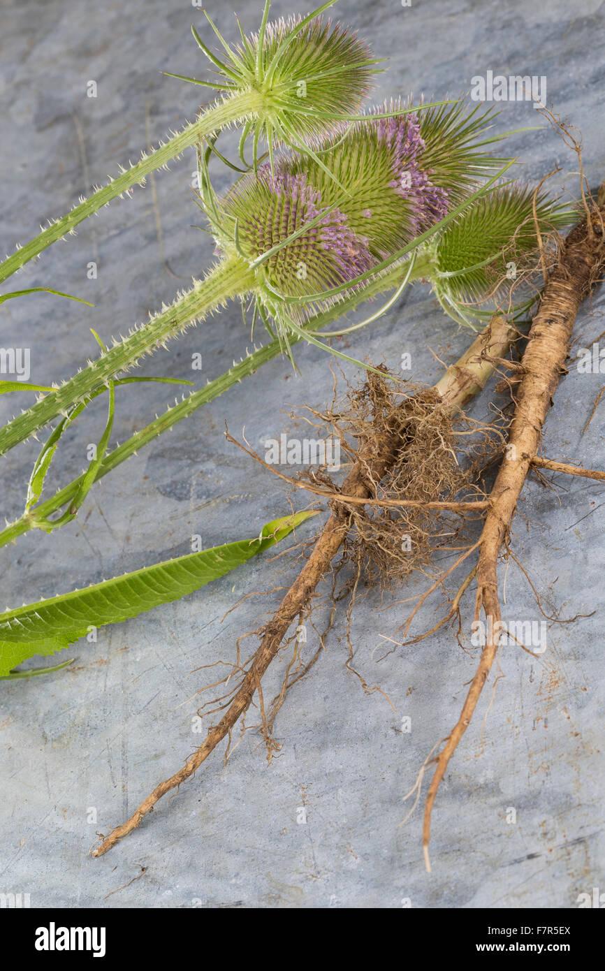 Fuller's teasel, wild teasel, root, roots, root stock, Wilde Karde, Wurzel, Wurzeln, Dipsacus fullonum, Dipsacus - Stock Image