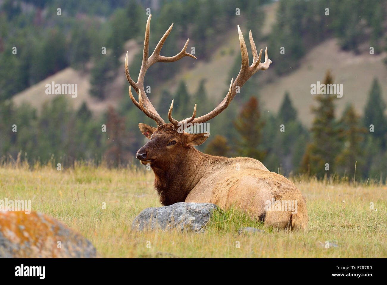 A large bull elk  Cervus elaphus, laying down in a grassy meadow - Stock Image
