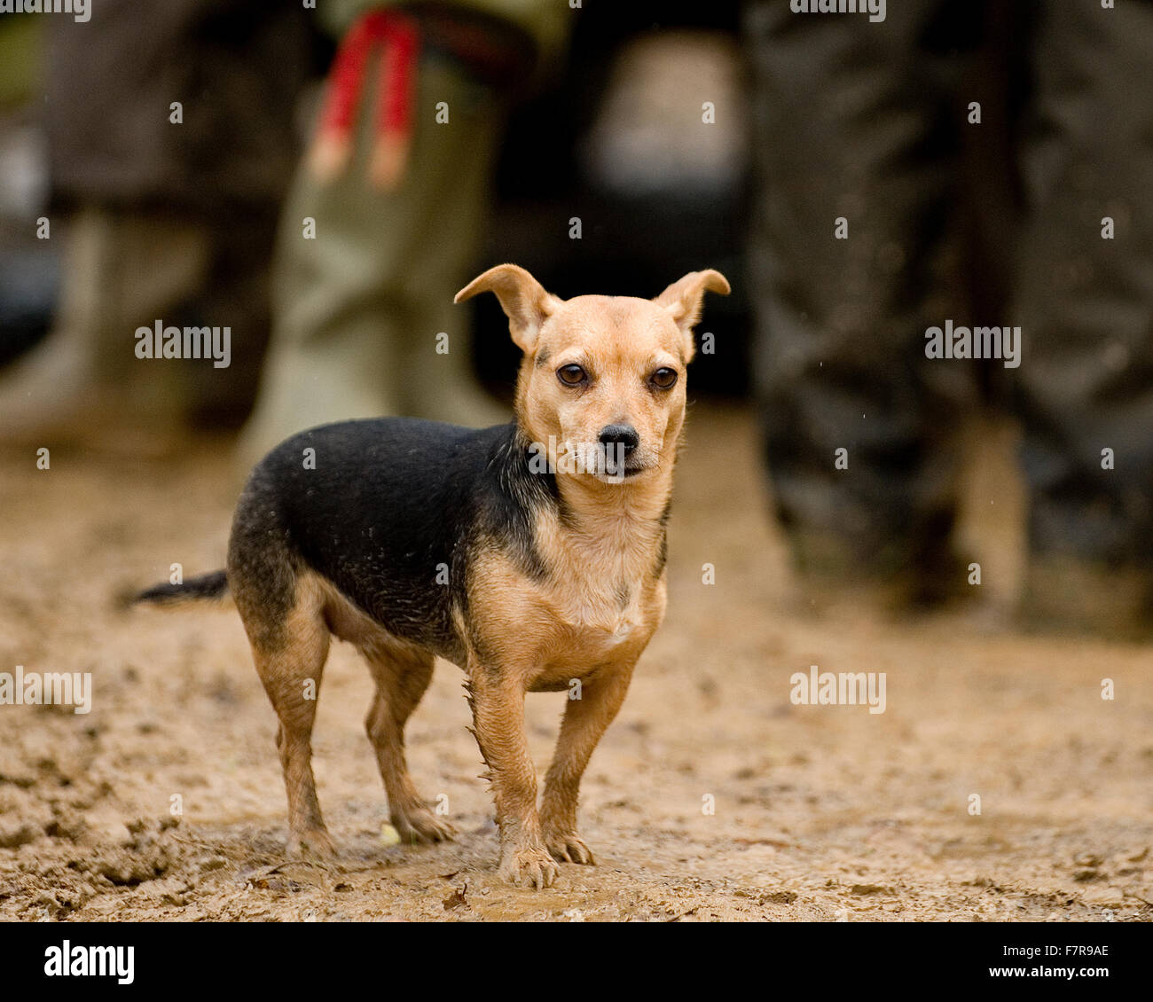 jack russell terrier out shooting - Stock Image