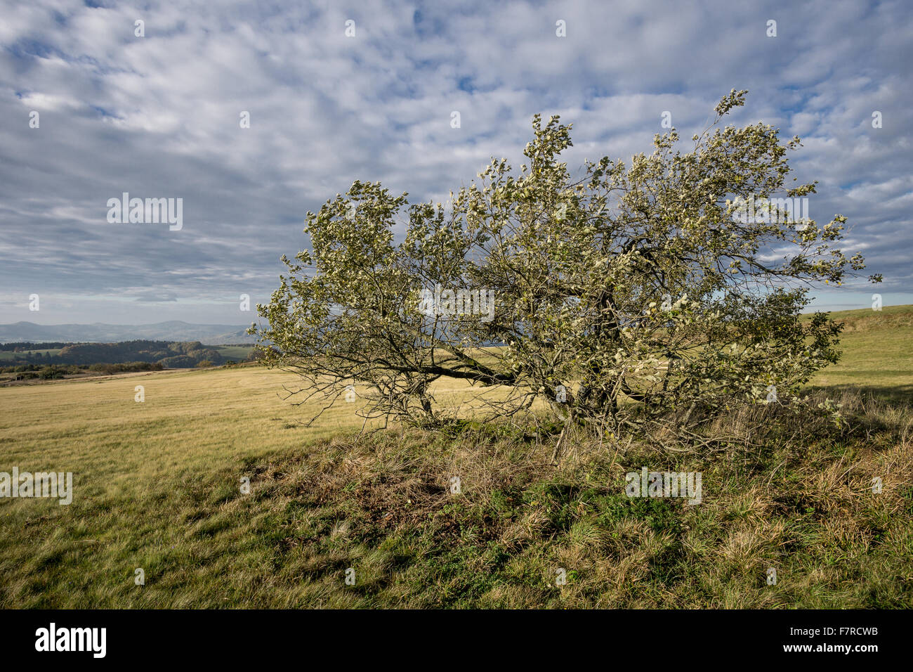 A tree on a hilly landscape with a dramatic sky - Stock Image