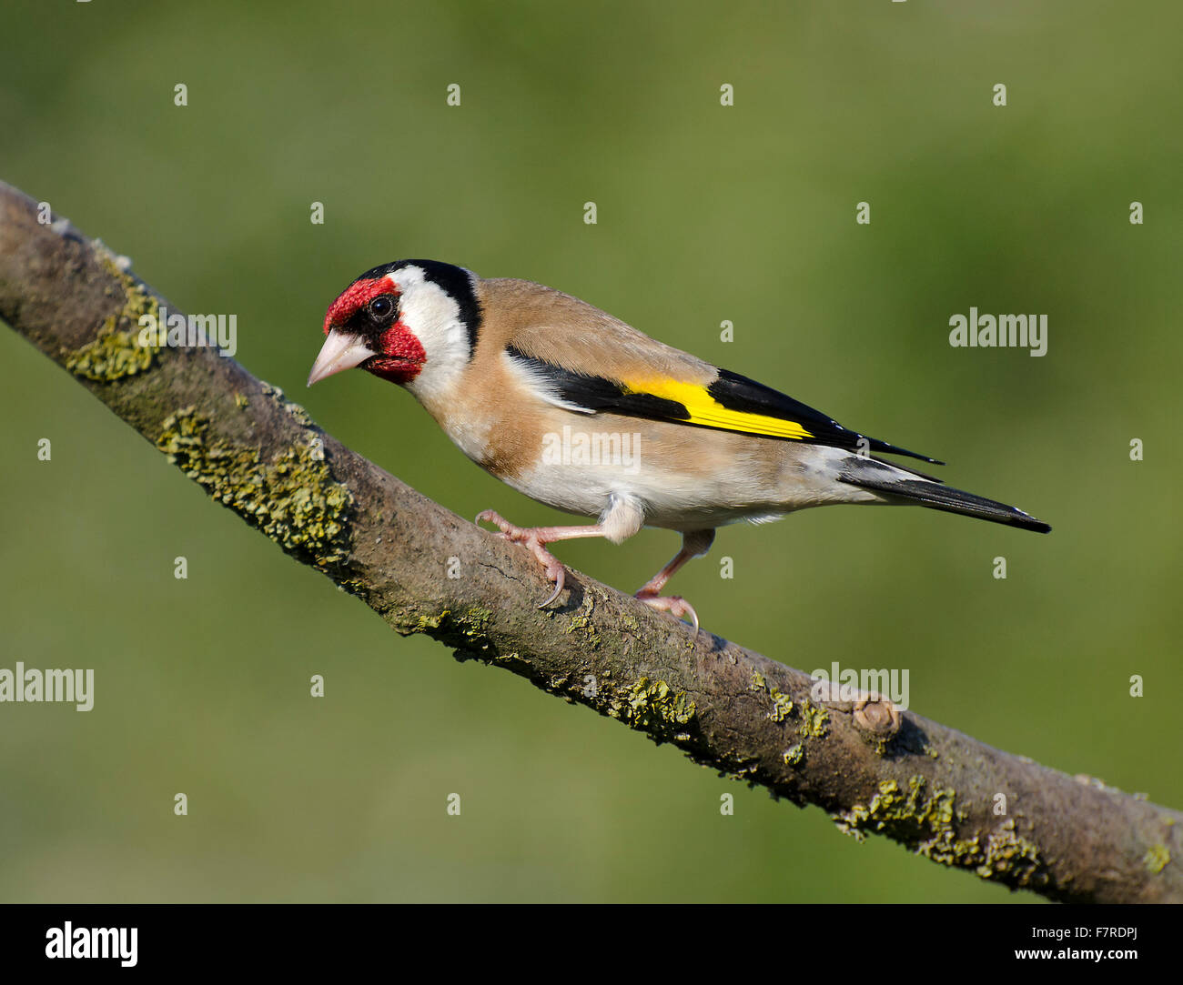 Goldfinch, Carduelis carduelis, perched on stick, in garden in Lancashire, England, Stock Photo