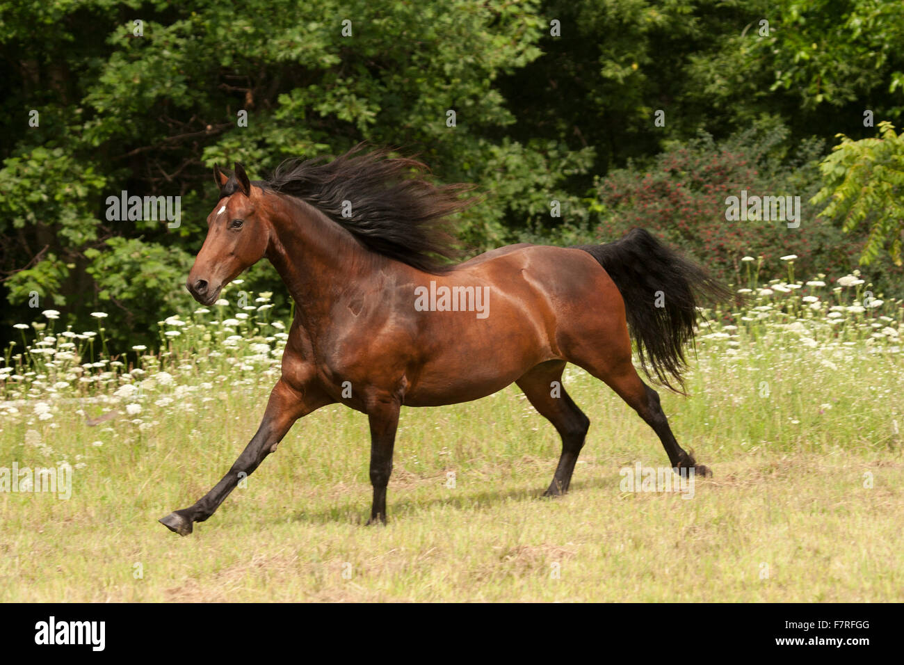 Bay horse gallops through field - Stock Image