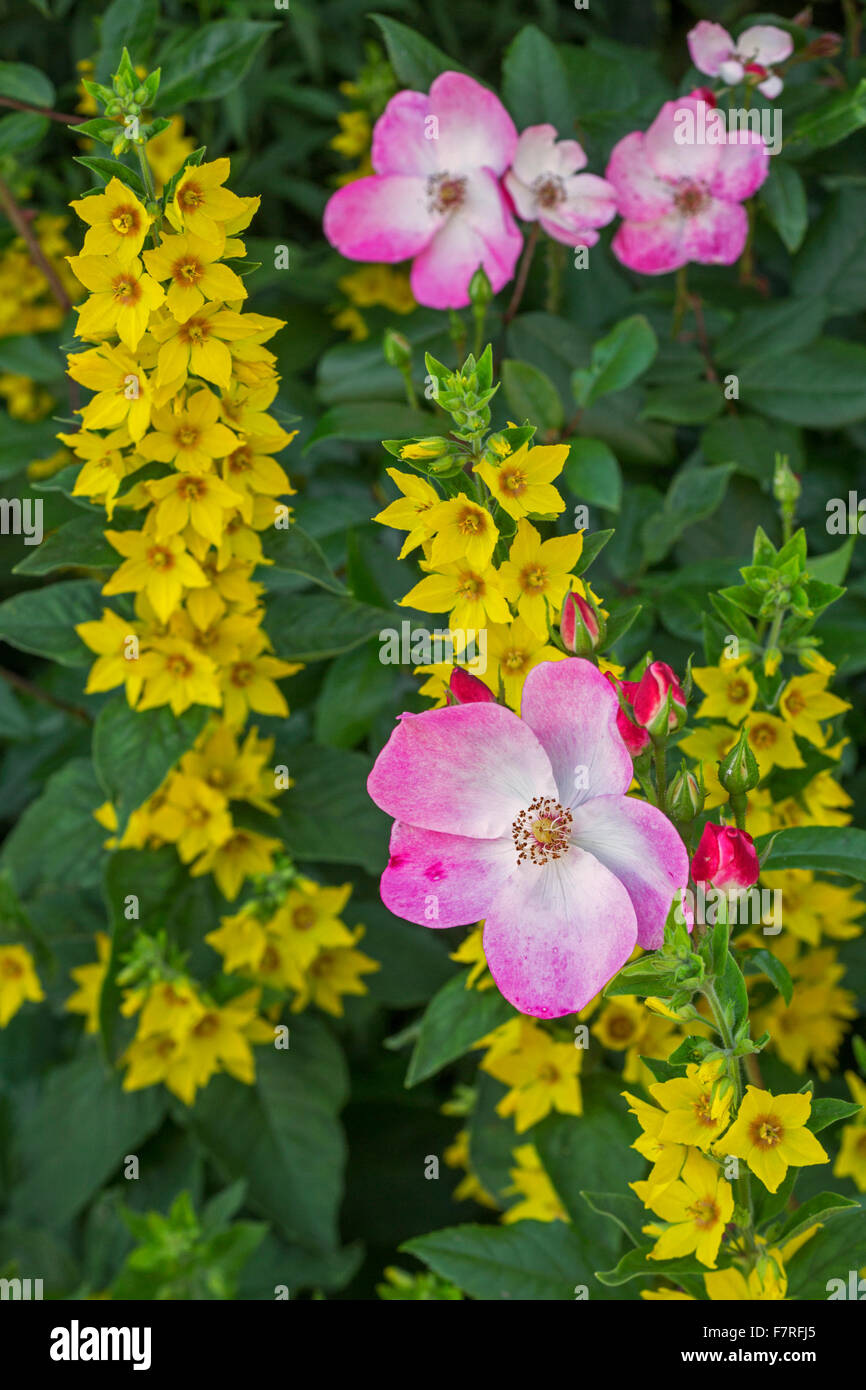 Rosa rush and spotted loosestrife (Lysimachia punctata) in flower - Stock Image