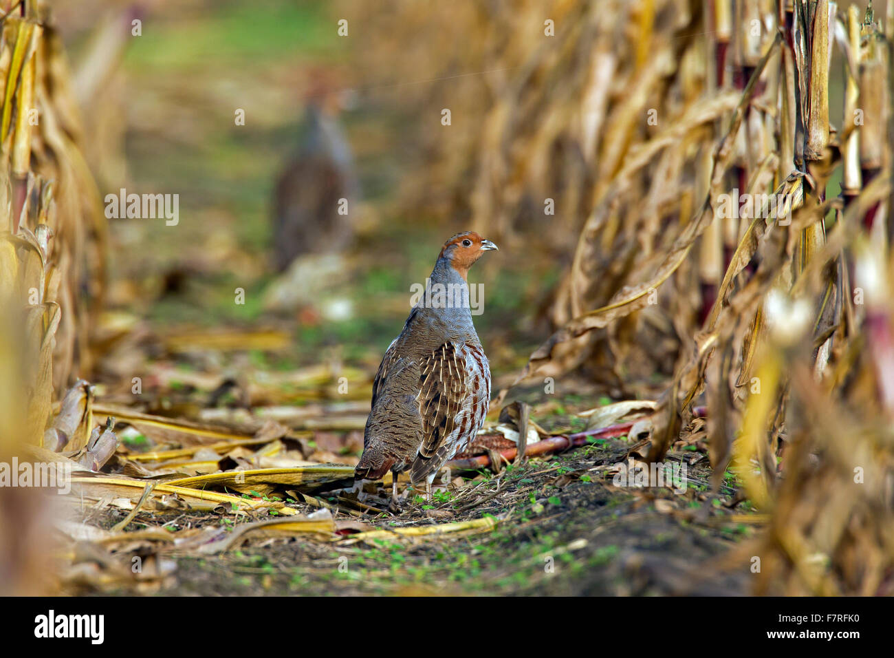 Grey partridge (Perdix perdix) male foraging in maizefield in autumn - Stock Image