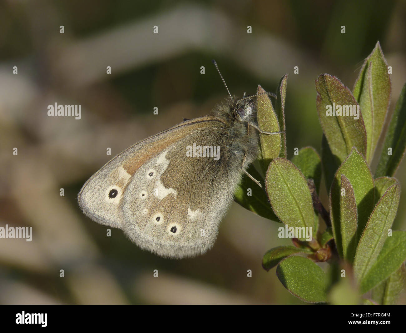 Large Heath butterfly, ssp polydama - Stock Image