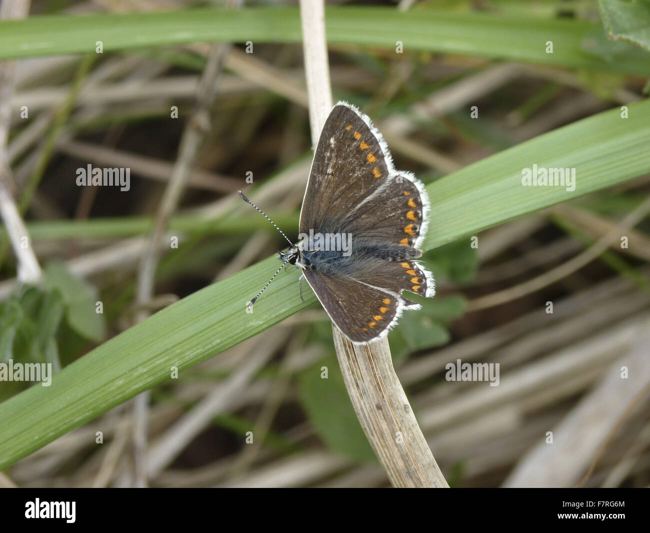 Northern Brown Argus butterfly, male - Stock Image