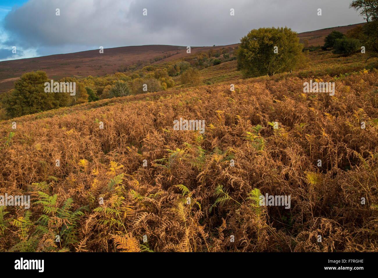 Mixed moorland habitats, with bracken on the north slopes of Dunkery Beacon, Exmoor. Somerset. - Stock Image