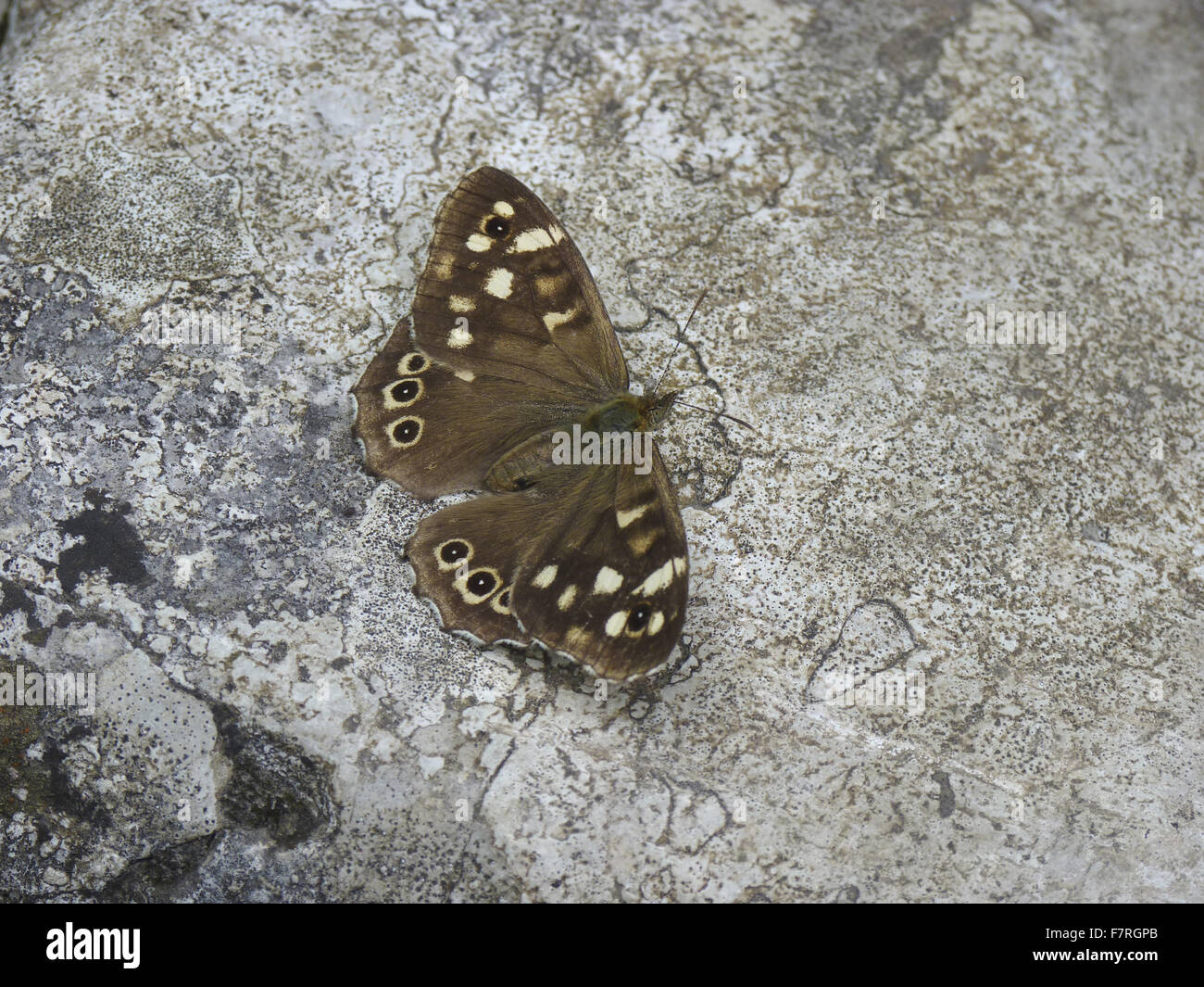 Speckled Wood butterfly, female - Stock Image