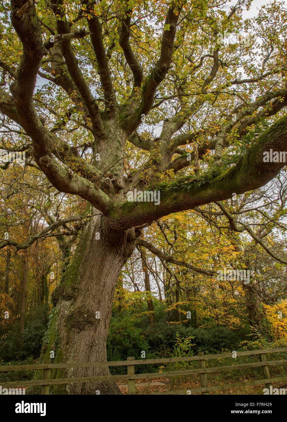Ancient common oak tree in autumn, at Swan Green, New Forest. Stock Photo