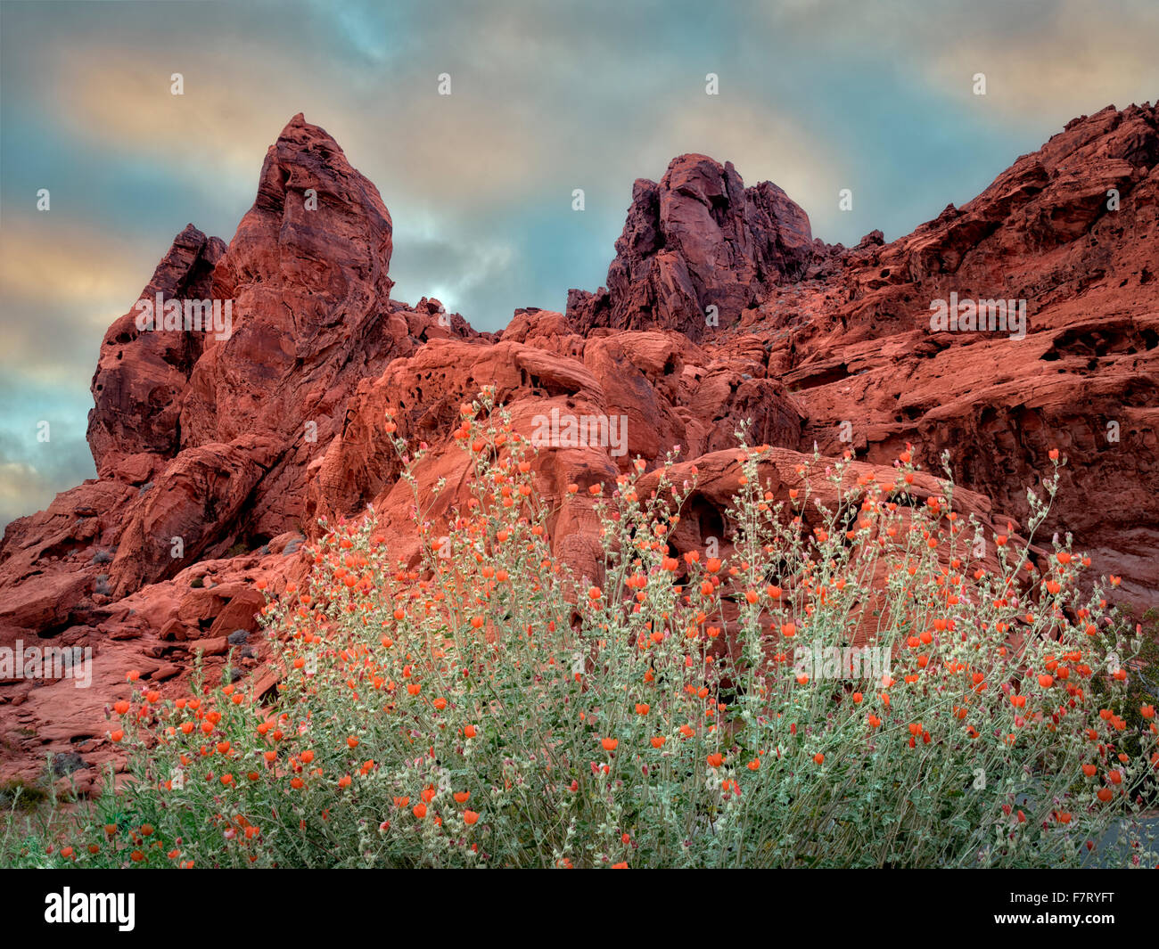 Globe Mallow and rock formation in Valley of Fire State Park, Nevada - Stock Image