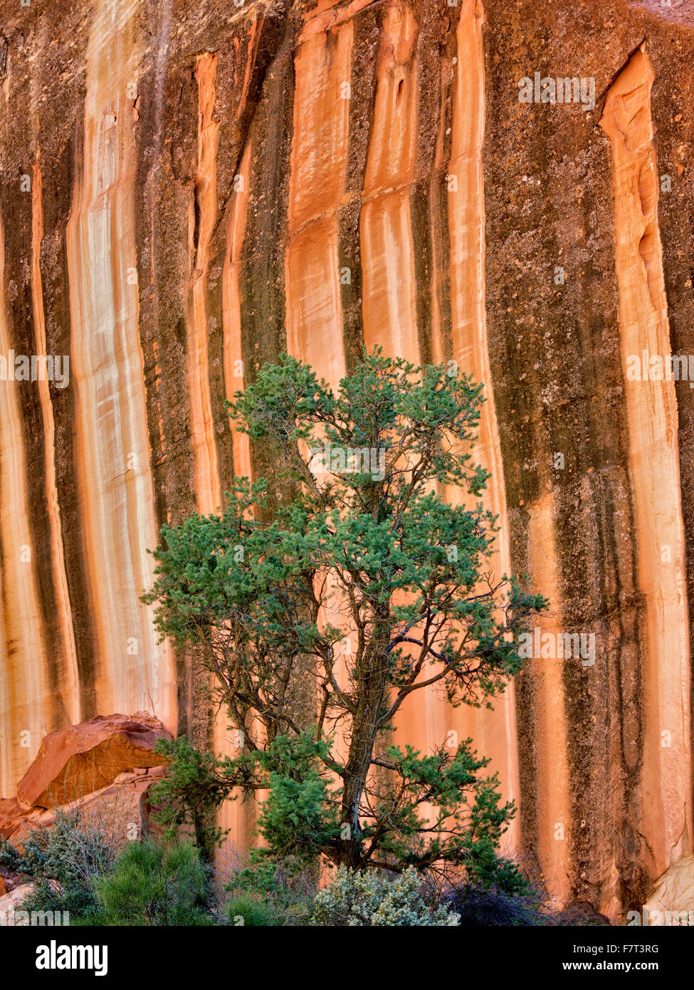 Desert varnish rock formation and pine tree at Capitol Reef National Park, Utah - Stock Image