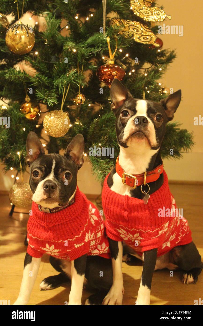 boston terrier christmas stock image - Boston Terrier Christmas