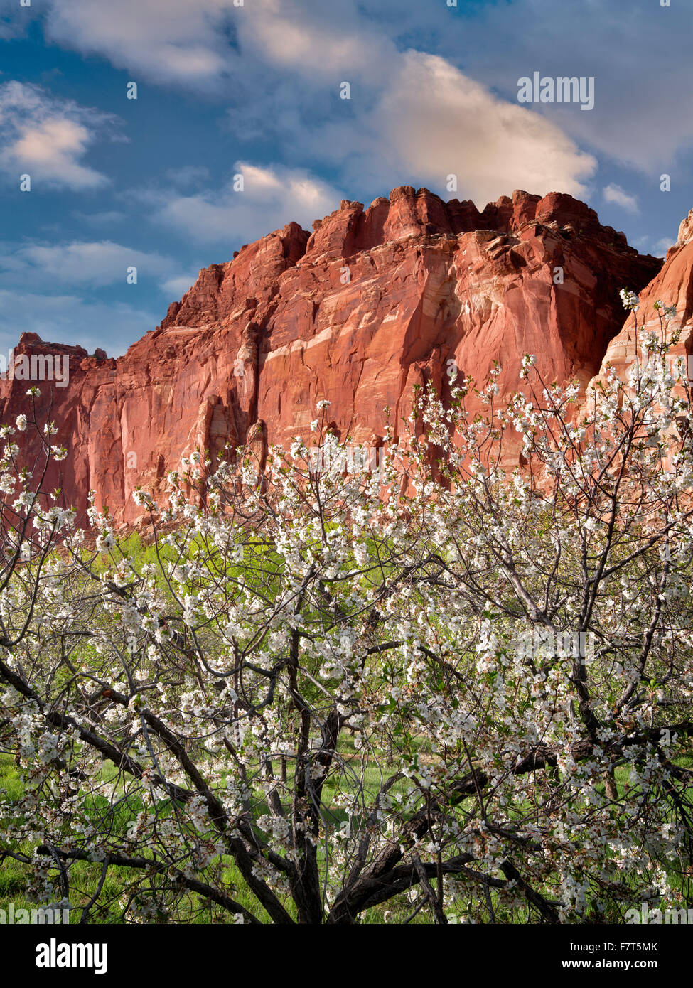 Apple blossoms and cliffs. Fruita, Capitol Reef National Park,. Utah - Stock Image
