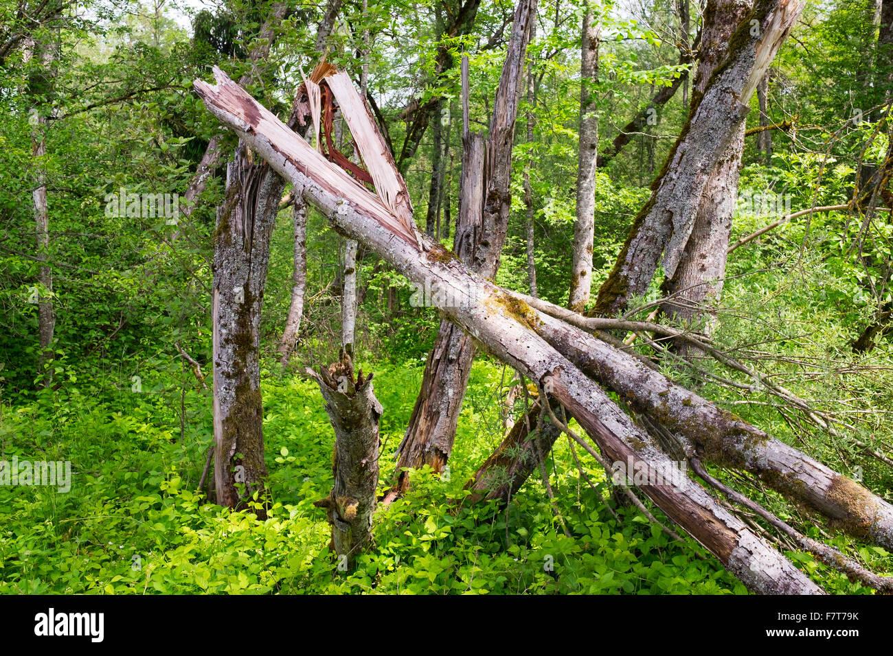 Riparian forest, Isarauen nature reserve, Pupplinger Au, Upper Bavaria, Bavaria, Germany - Stock Image