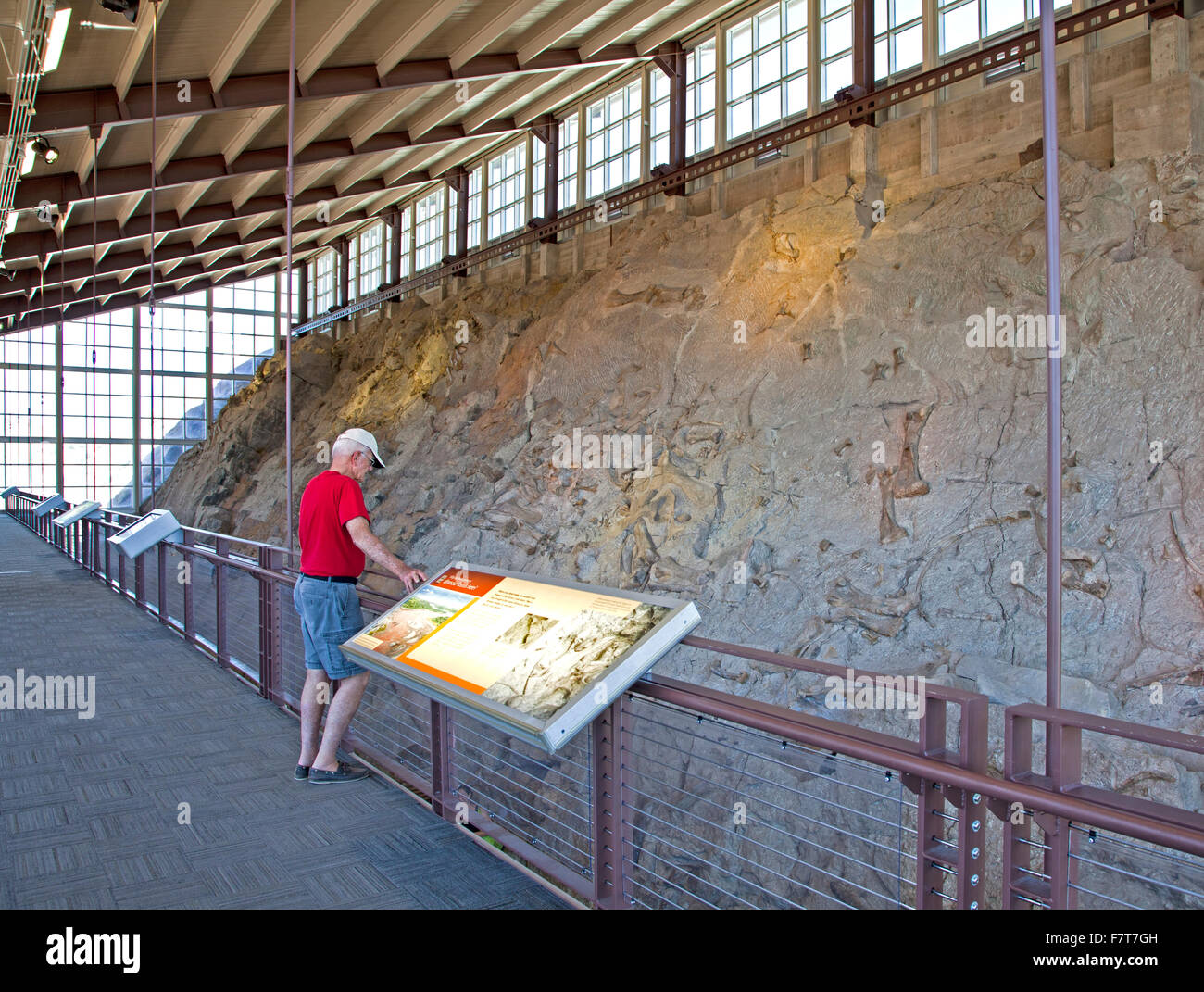 An actual in situ wall of dinosaur fossils is the main attraction at the Quarry Exhibit Hall at the Dinosaur National - Stock Image