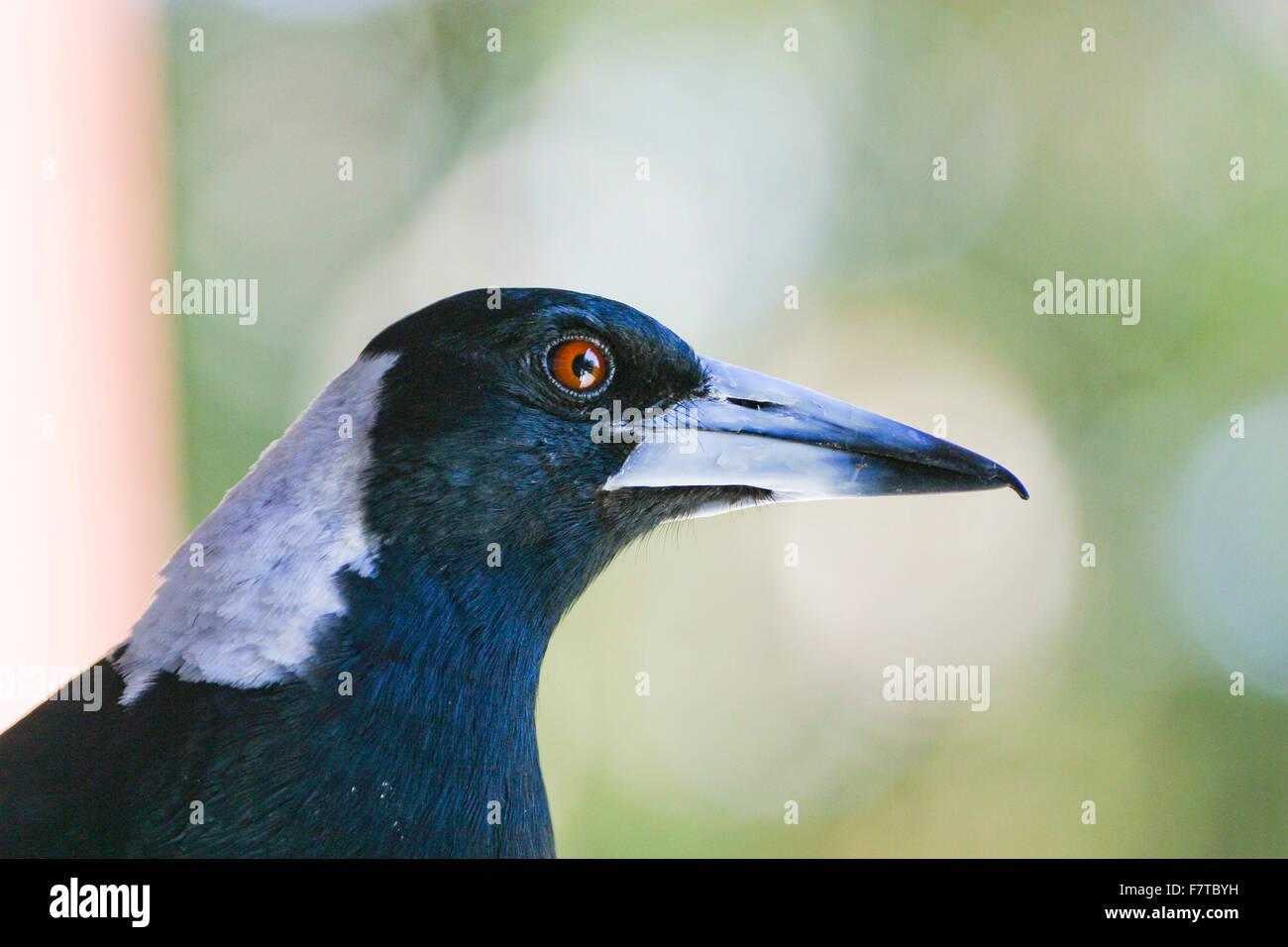 portrait of an Australian Magpie - Stock Image