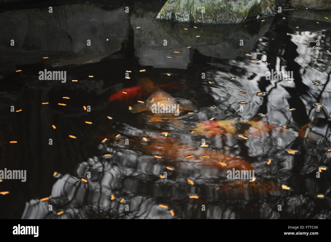 A group of Koi karp in a pond layed with fish food - Stock Image