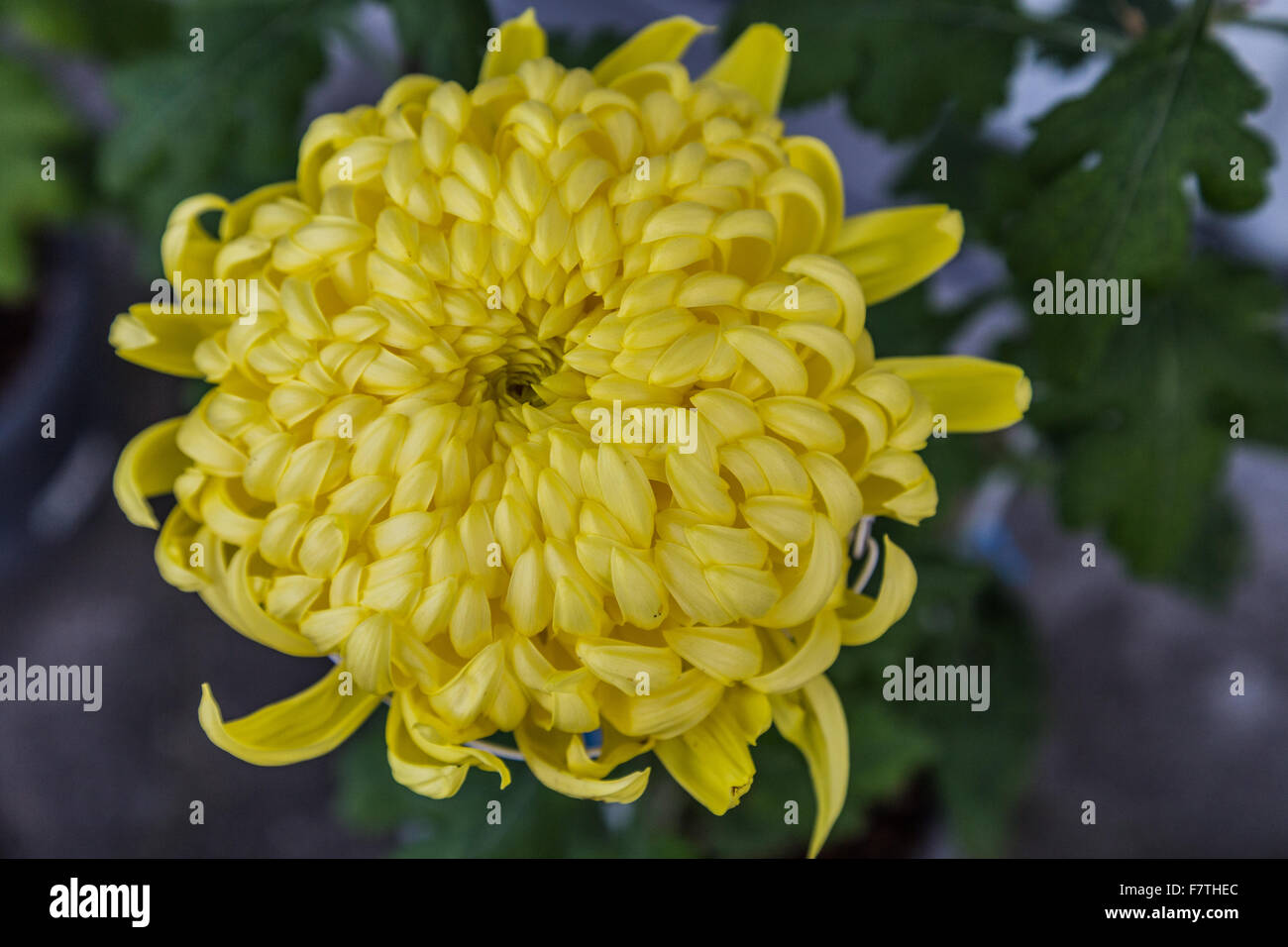 Chrysanthemums are also called mums or chrysanths.  Tbhey are flowers of the family Asteraceae native to Asia and - Stock Image
