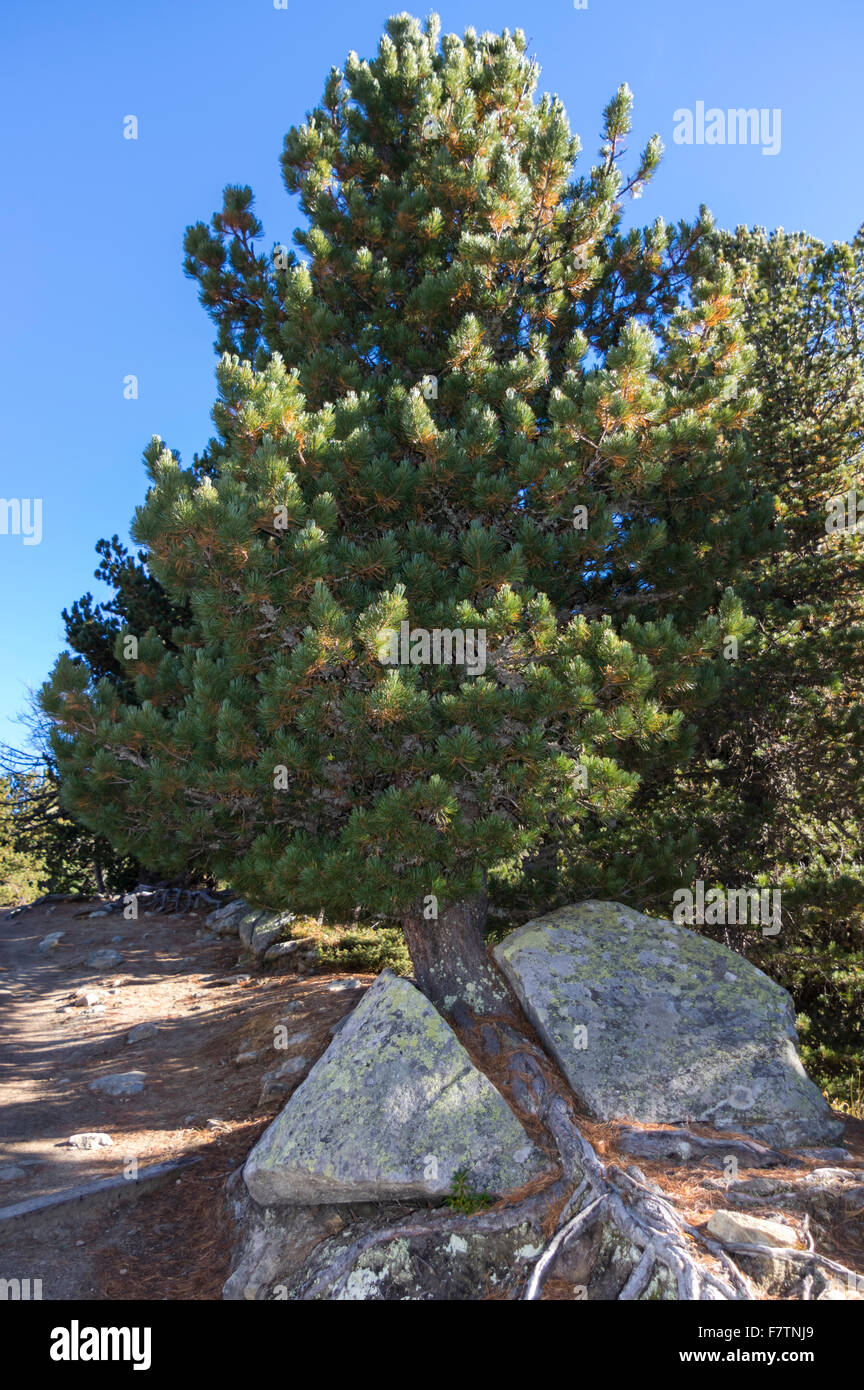 Pumilio mountain pine: planting and care, features of growing and breeding 43
