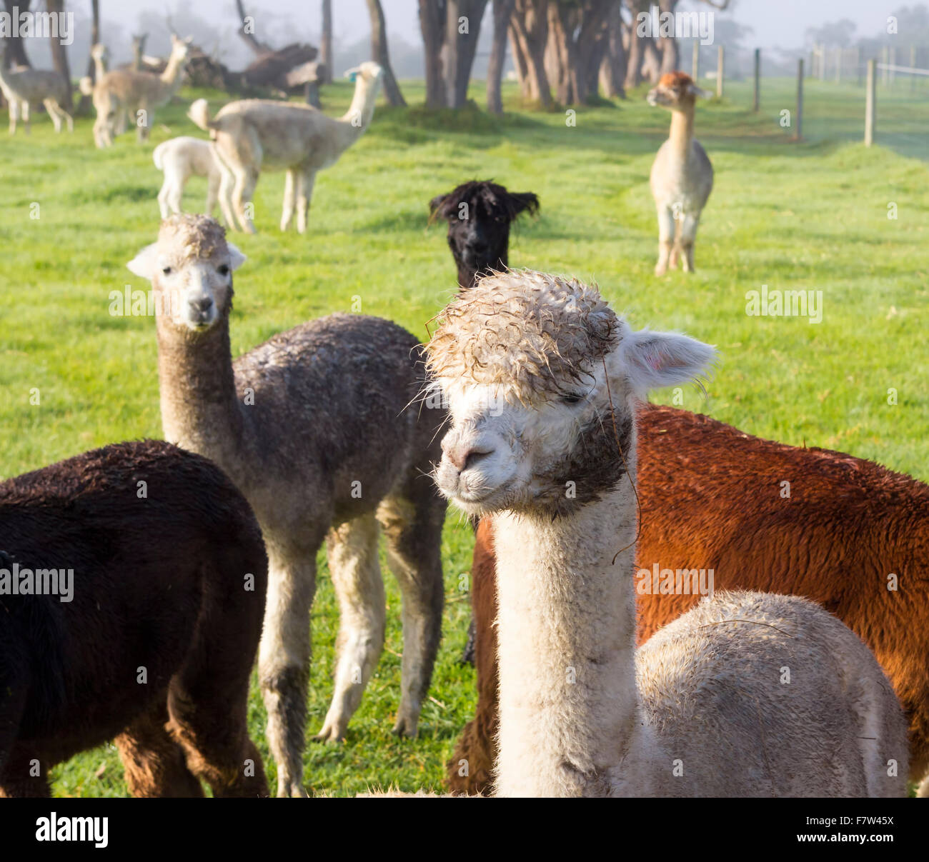 Alpaca group being farmed in Australia - Stock Image