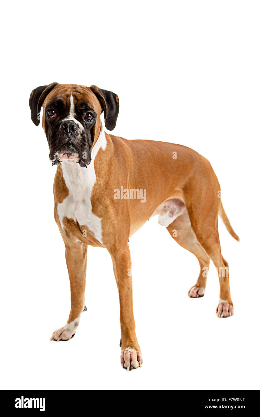 Fawn German Boxers Dogs Wiring Diagrams Engine Mount Diagram Parts List For Model 42583x9a Murrayparts Walk Colored Boxer Dog Pure Breed On White Background Stock Rh Alamy Com Black