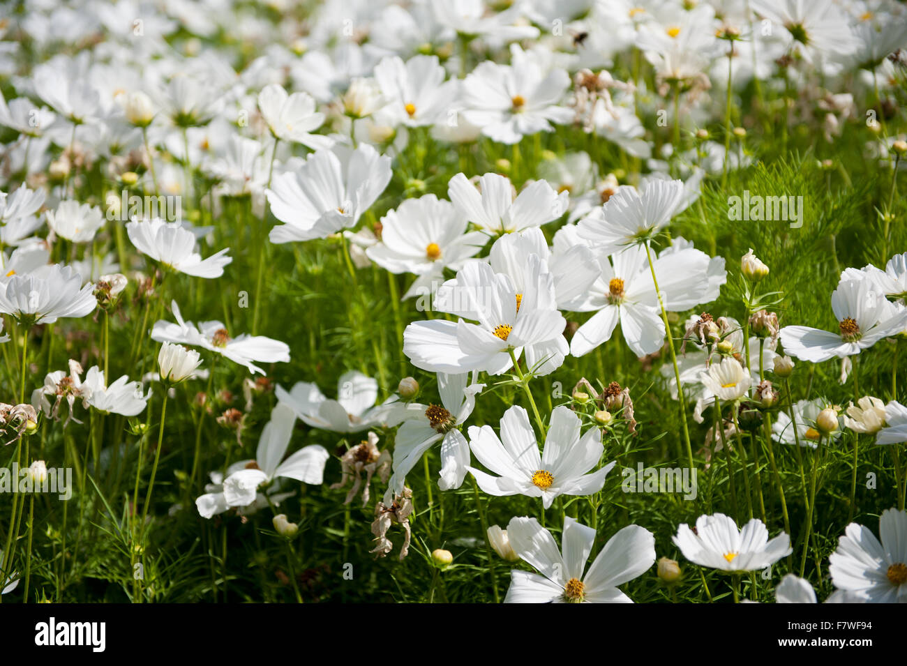 White cosmos plants blooming in july cosmos bipinnatus flowers white cosmos plants blooming in july cosmos bipinnatus flowers called garden cosmos or mexican aster polish name warszawianka mightylinksfo