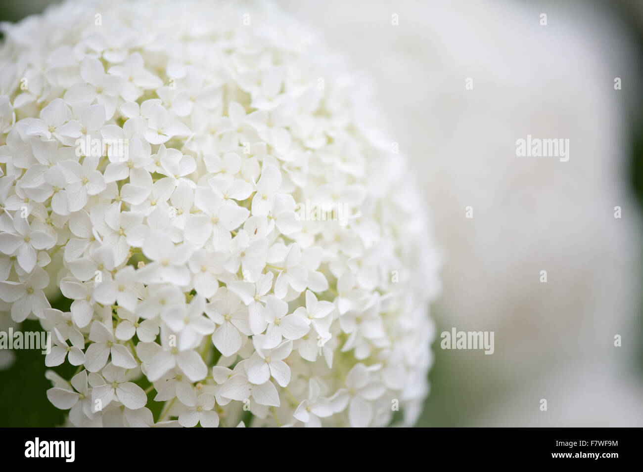 Spherical hydrangea flowering macro, plant blooming white creamy inflorescences, globular flowers show in July... Stock Photo