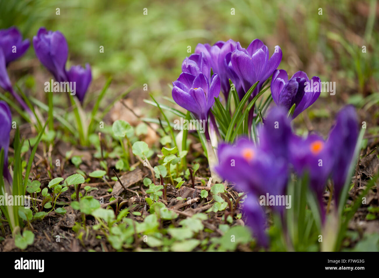 Croci Purple Flowers Closeup Flowering Plants Clumps In The Iris