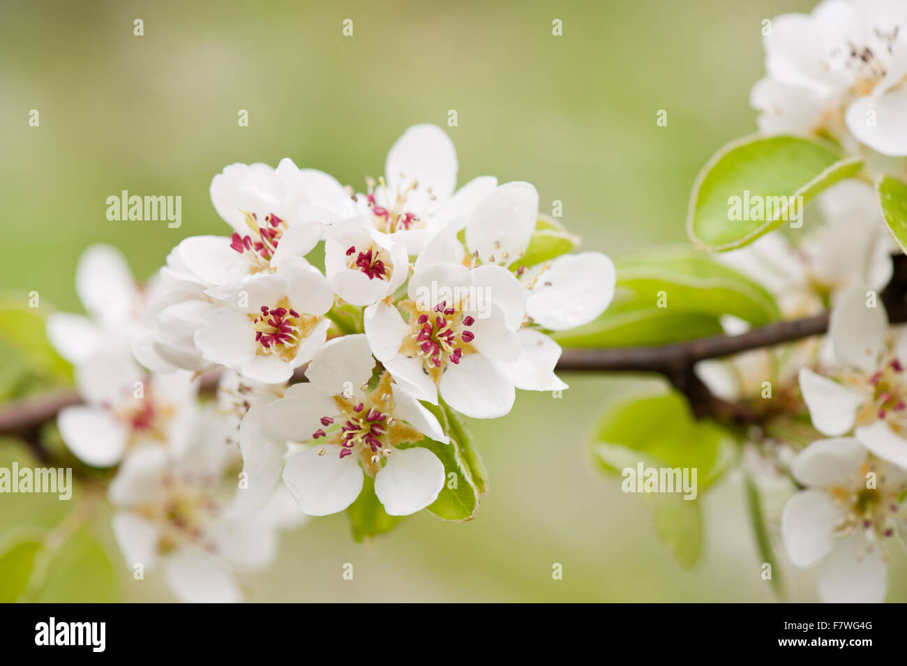 White Flowering Pyrus Macro Pear Tree Vibrant Efflorescence In