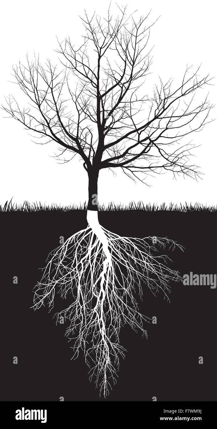 Cherry tree without leaves roots - Stock Image