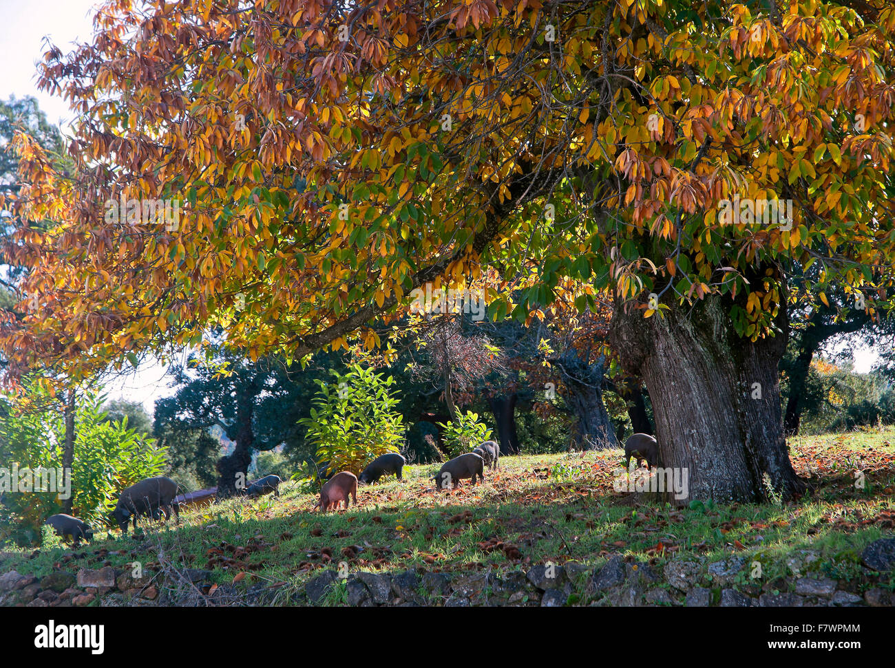 Sierra de Aracena Natural Park, Pigs in meadows, Santa Ana La Real, Huelva province, Region of Andalusia, Spain, - Stock Image