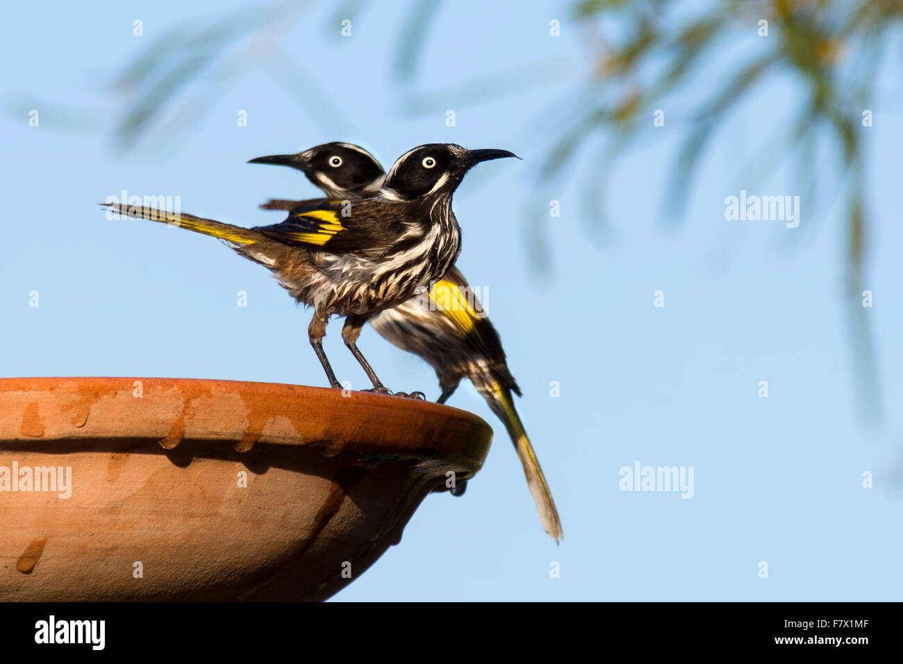 New Holland Honeyeater birds perched on bird bath, Australia - Stock Image